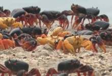 Invasa da milioni di granchi la baia dei porci a Cuba