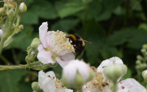June 17 Bumble bees as well. Honey bees are not the only pollinators