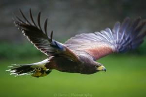 Ebony the Harris Hawk  (explored)