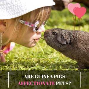 Are Guinea Pigs Affectionate Pets
