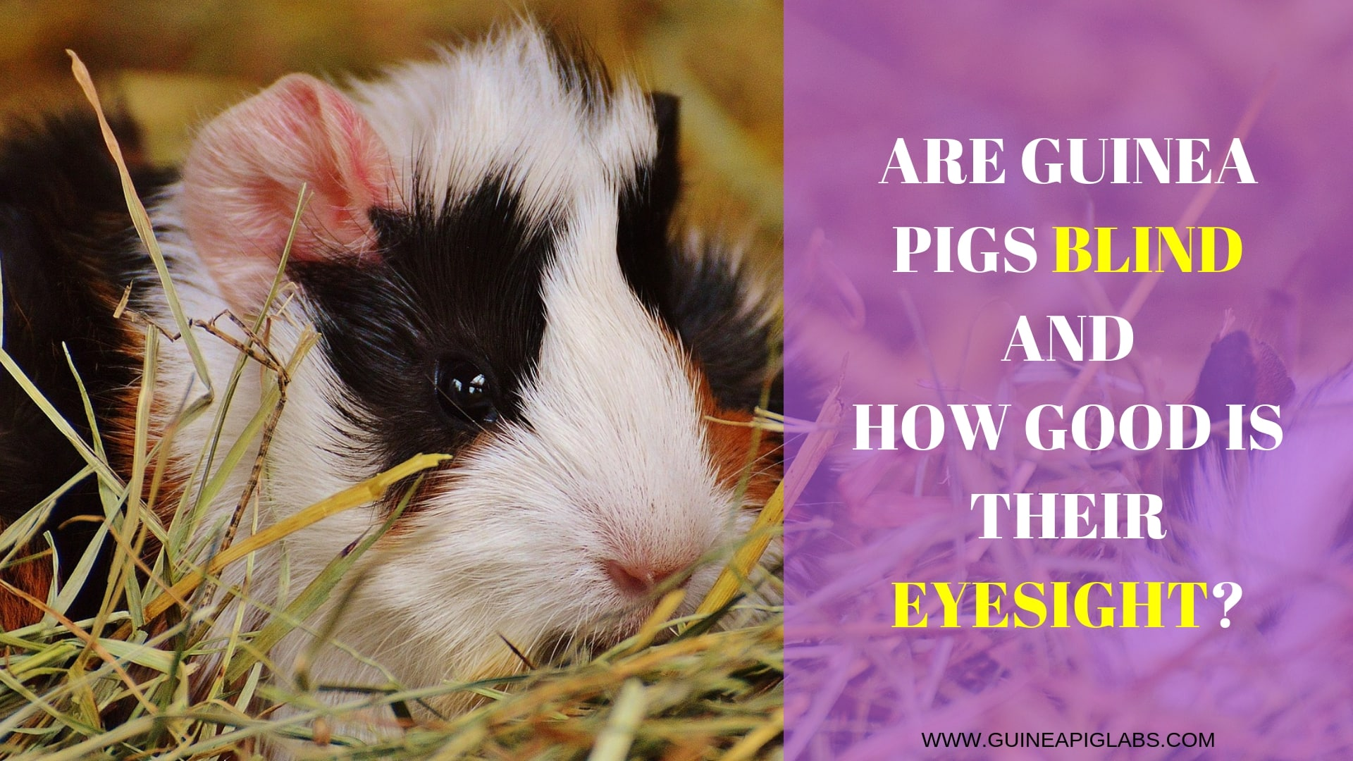 Are Guinea Pigs Blind and How Good Is Their Eyesight