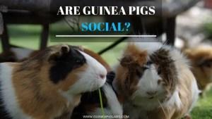 Are guinea pigs social?