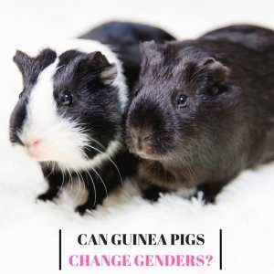 Can Guinea Pigs Change Genders