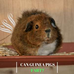 Can Guinea Pigs Fart