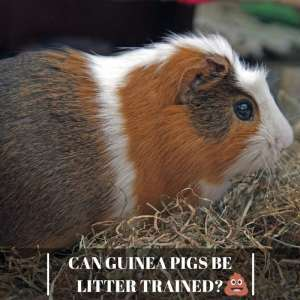 Can Guinea Pigs be Litter Trained