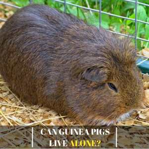 Can guinea pigs live alone