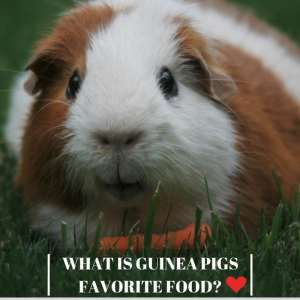 WHAT IS GUINEA PIGS FAVORITE FOOD