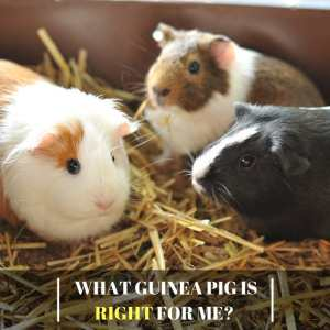 What Guinea Pig Is Right For Me
