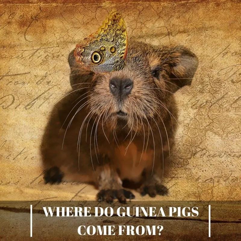 Where Do Guinea Pigs Come From