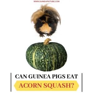 Can Guinea Pigs Eat Acorn Squash