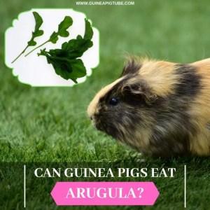Can Guinea Pigs Eat Arugula