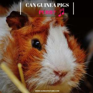 Can Guinea Pigs Purr