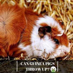 Can Guinea Pigs Throw Up