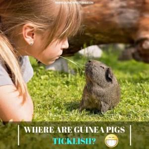 Where are Guinea Pigs Ticklish