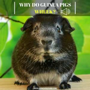 Why Do Guinea Pigs Wheek