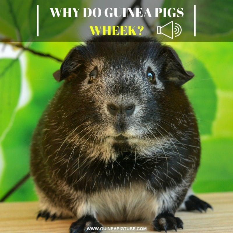 Why Do Guinea Pigs Wheek