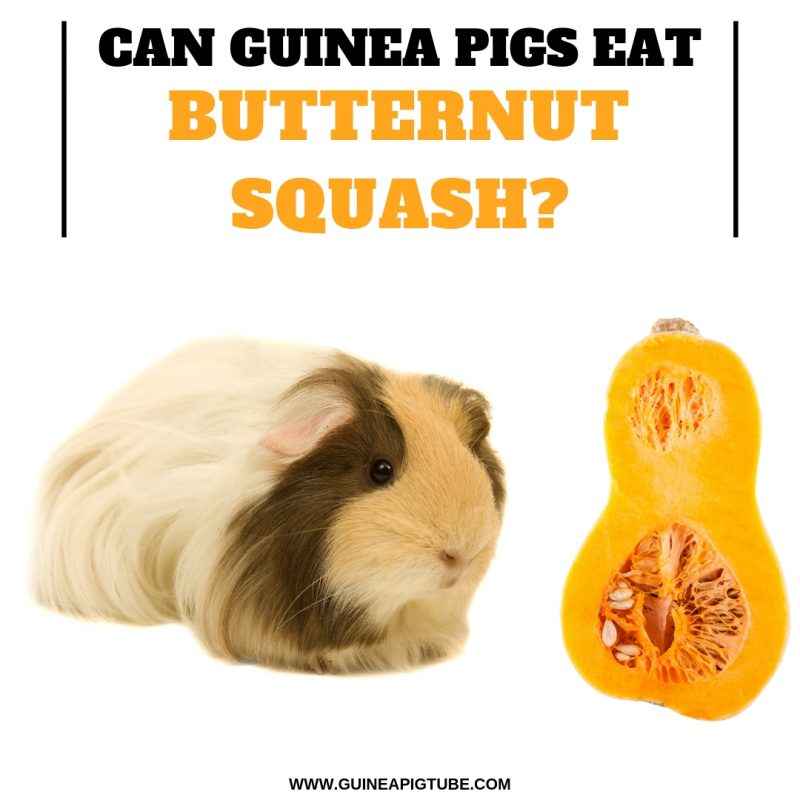 Can Guinea Pigs Eat Butternut Squash