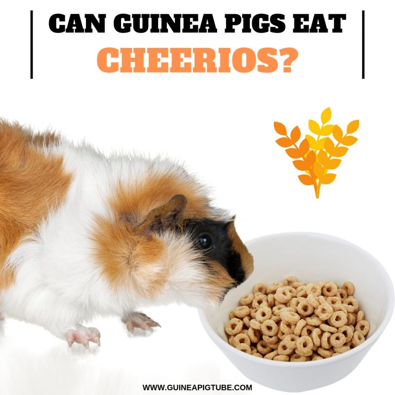 Can Guinea Pigs Eat Cheerios