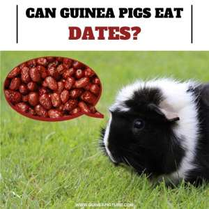 Can Guinea Pigs Eat Dates