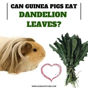 Can Guinea Pigs Eat Dandelion Leaves