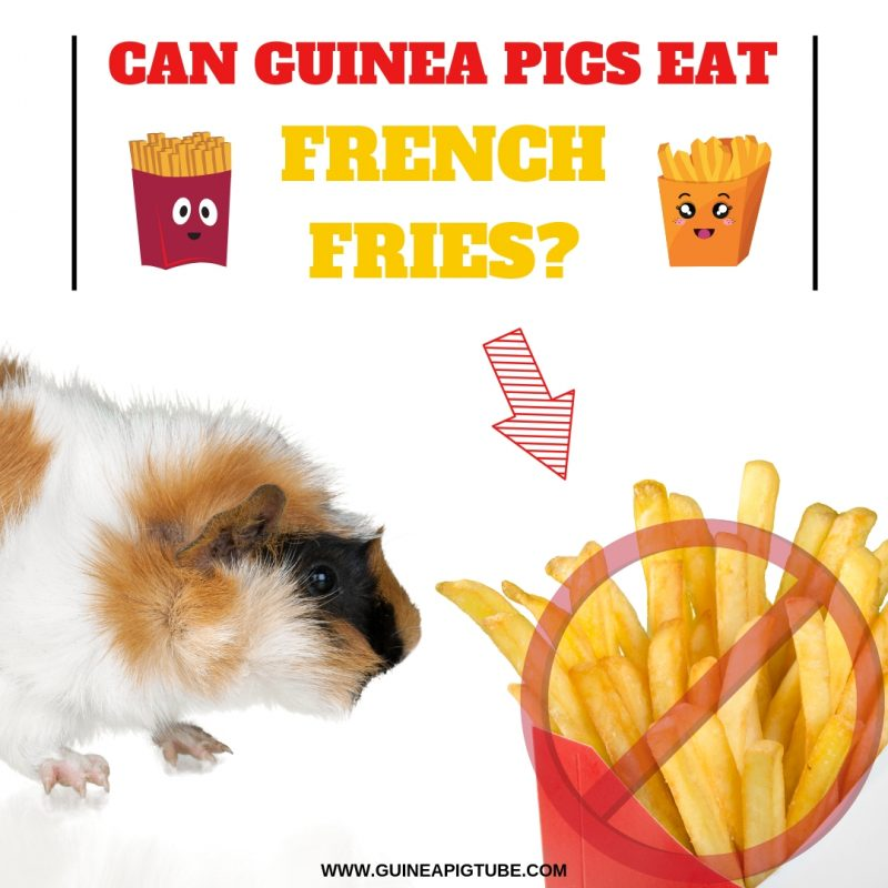 Can Guinea Pigs Eat French Fries