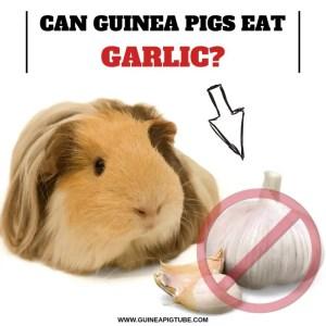 Can Guinea Pigs Eat Garlic