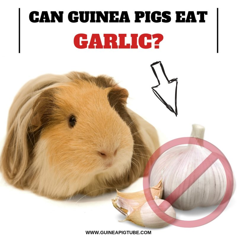 Can Guinea Pigs Eat Garlic