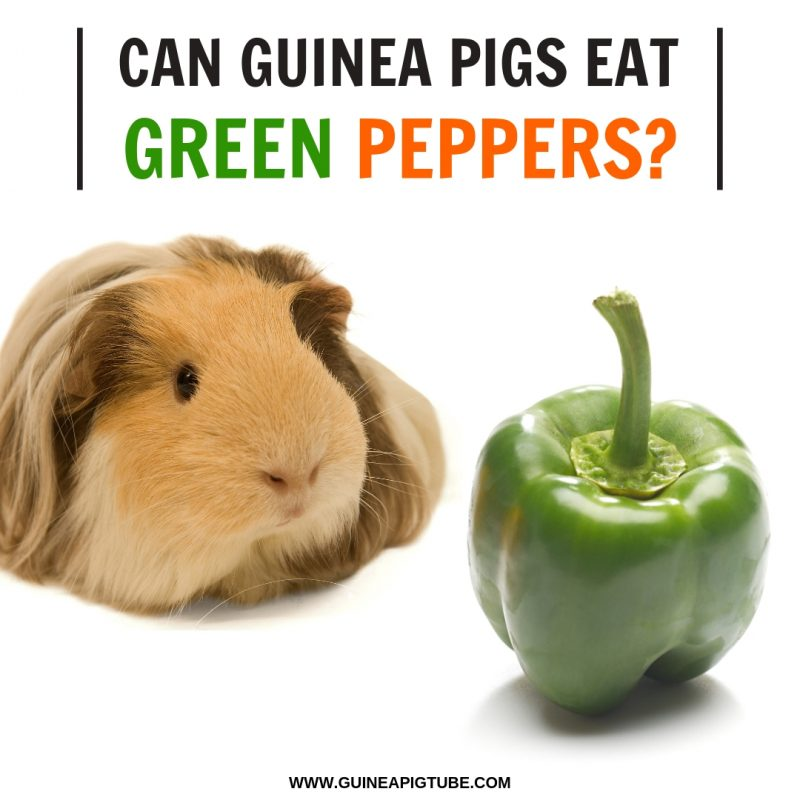 Can Guinea Pigs Eat Green Peppers