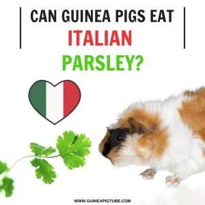 Can Guinea Pigs Eat Italian Parsley