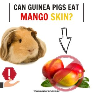 Can Guinea Pigs Eat Mango Skin