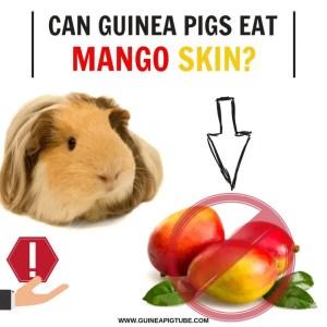 Can Guinea Pigs Eat Mango Skin