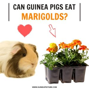Can Guinea Pigs Eat Marigolds