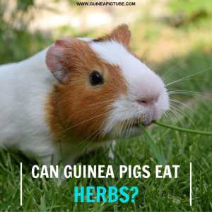 Can guinea pigs eat herbs