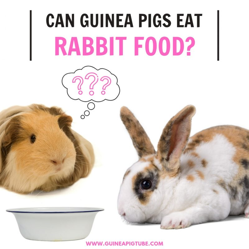Can Guinea Pigs Eat Rabbit Food