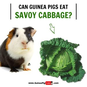 Can Guinea Pigs Eat Savoy Cabbage (Benefits, Risks, Serving Size & More)