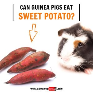 Can Guinea Pigs Eat Sweet Potato