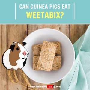 Can Guinea Pigs Eat Weetabix (Benefits, Risks & More)