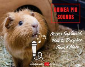 Guinea Pig Sounds Noises Explained, How to Decipher Them & More