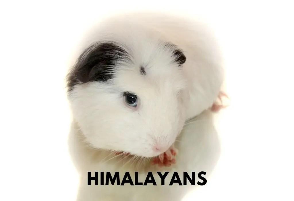 Himalayan Guinea Pig.