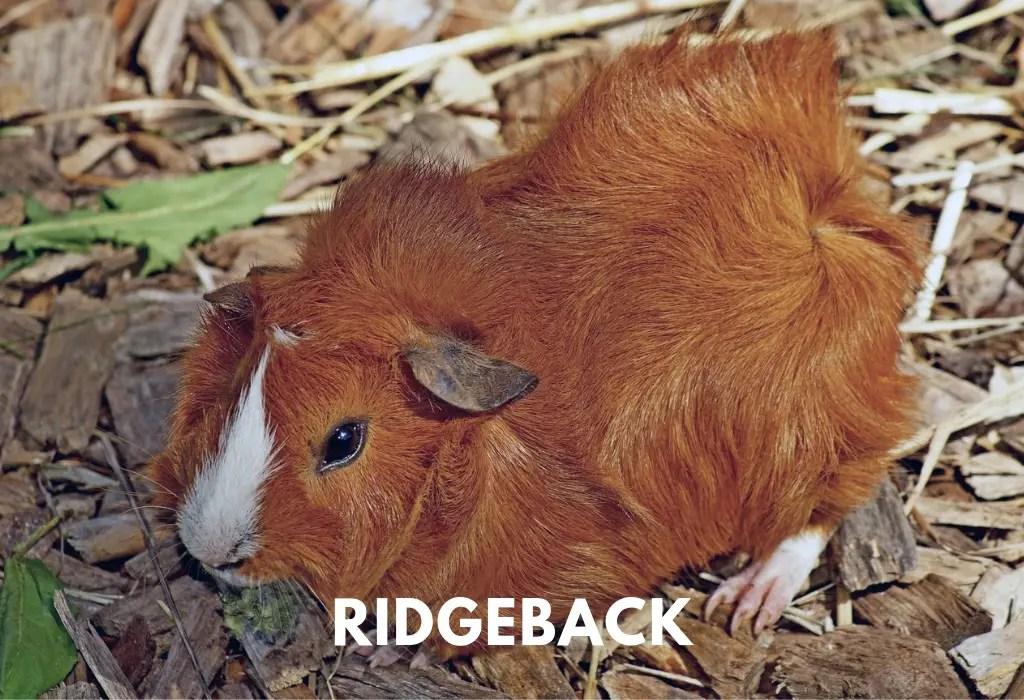Ridgebacks Guinea Pigs