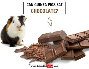 Can Guinea Pigs Eat Chocolate (Risks, Facts & More)