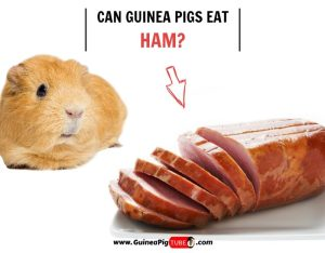 Can Guinea Pigs Eat Ham (Risks, Facts & More)