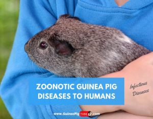 Zoonotic Guinea Pig Diseases to Humans (Infectious Diseases)