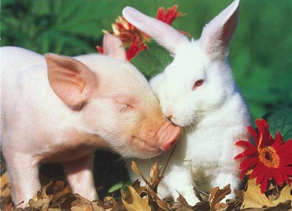 cochon-lapin