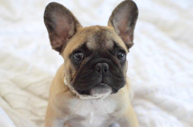 gulf coast french bulldogs - french bulldog breeder