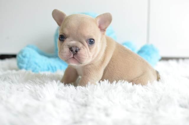 previous puppies - gulf coast french bulldogs