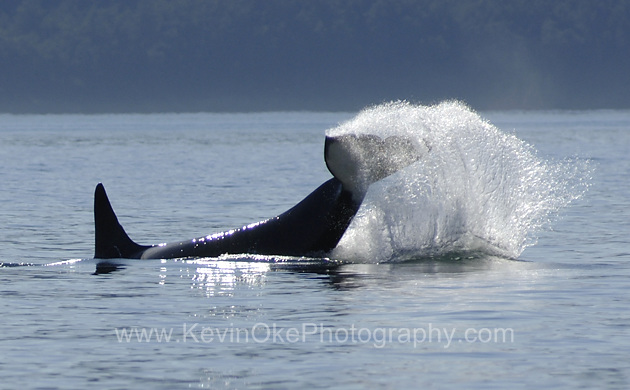 Orcas are common in the waters in the Southern Gulf area and are frequently seen in Active Pass, East Point on Saturna Island and off the southern Side of the Penders.