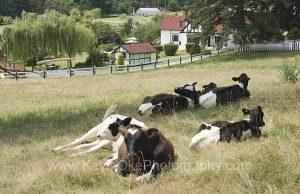 Cows at Capernwray
