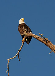 Bald Eagle on Theis Island, Thetis Island, British Columbia