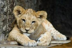 Kenya - Lion